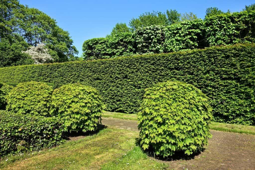 hur klippa häcksax buske